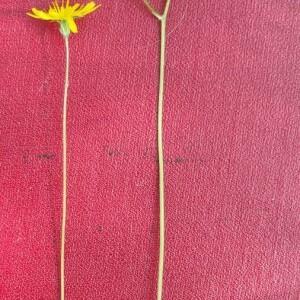Photographie n°2397360 du taxon Crepis sancta (L.) Bornm. [1913]