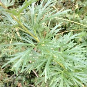 Photographie n°2397809 du taxon Aconitum napellus L. [1753]