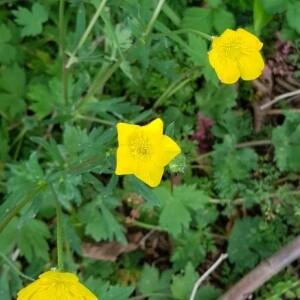Photographie n°2399823 du taxon Ranunculus bulbosus L. [1753]