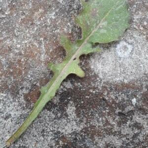 Photographie n°2400118 du taxon Crepis sancta (L.) Bornm. [1913]