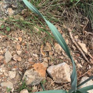 Photographie n°2401365 du taxon Allium cepa L. [1753]