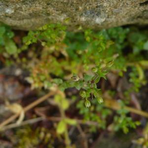 Photographie n°2402917 du taxon Arenaria serpyllifolia L. [1753]