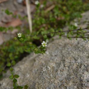 Photographie n°2402919 du taxon Arenaria serpyllifolia L. [1753]