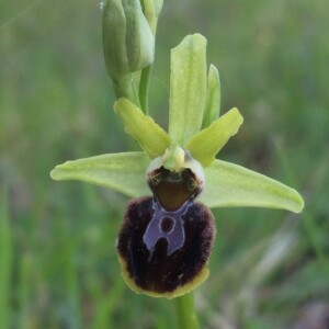 Photographie n°2403202 du taxon Ophrys aranifera Huds. [1778]