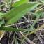 Hugo Santacreu - Ophrys aranifera Huds. [1778]
