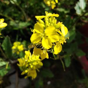 - Sinapis arvensis subsp. arvensis