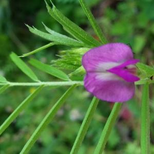 Photographie n°2403711 du taxon Vicia angustifolia L. [1759]