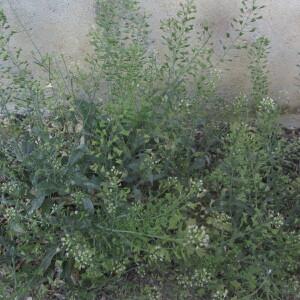 Photographie n°2403811 du taxon Capsella bursa-pastoris (L.) Medik. [1792]
