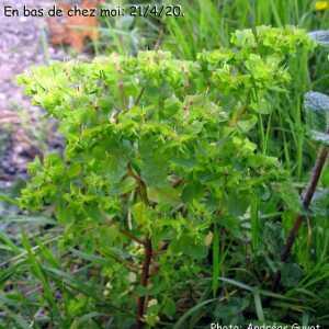 Photographie n°2403873 du taxon Euphorbia peplus L. [1753]