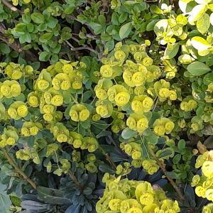 - Euphorbia helioscopia L.
