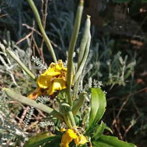 - Brassicaceae