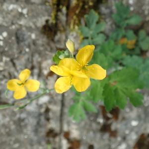 - Chelidonium majus subsp. majus