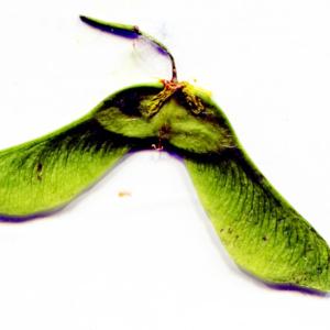 - Acer platanoides subsp. platanoides