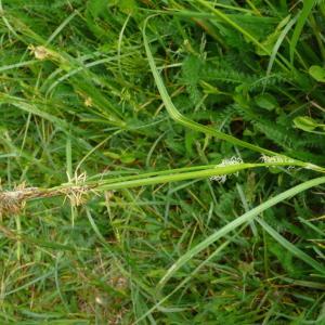 Photographie n°2404592 du taxon Carex hirta L. [1753]