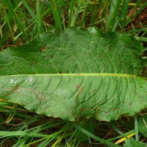 - Rumex obtusifolius subsp. obtusifolius