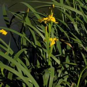Photographie n°2404667 du taxon Iris pseudacorus L.