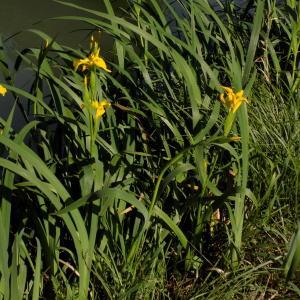 Photographie n°2404668 du taxon Iris pseudacorus L.
