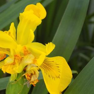 Photographie n°2404669 du taxon Iris pseudacorus L.