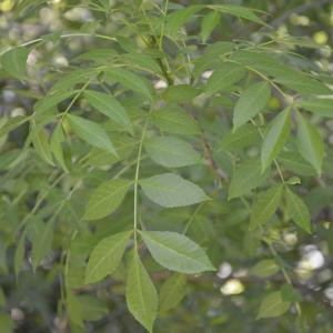 - Fraxinus angustifolia Vahl [1804]