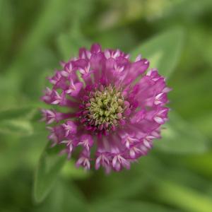 Photographie n°2404946 du taxon Trifolium pratense L.