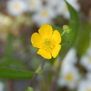 - Ranunculus flammula var. flammula