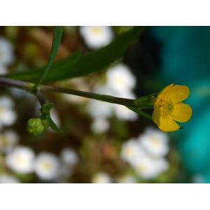 Ranunculus flammula L. var. flammula (Petite Douve)
