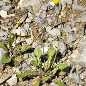 Photographie n°2405253 du taxon Crepis sancta (L.) Bornm. [1913]