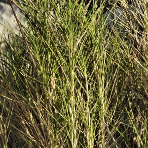 Photographie n°2405271 du taxon Brachypodium retusum (Pers.) P.Beauv. [1812]