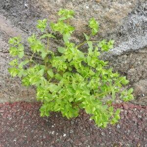 Photographie n°2405367 du taxon Euphorbia peplus L.