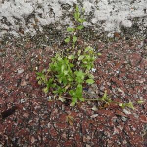 Photographie n°2405430 du taxon Stellaria media (L.) Vill.