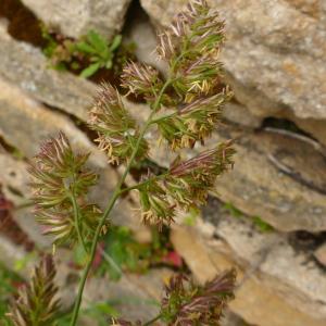 Photographie n°2405530 du taxon Dactylis glomerata L. [1753]