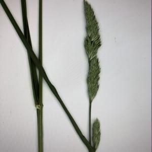 Photographie n°2405998 du taxon Dactylis glomerata L. [1753]