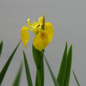 Photographie n°2406515 du taxon Iris pseudacorus L. [1753]