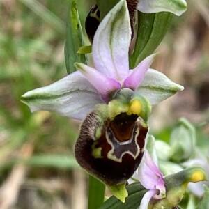 Photographie n°2407917 du taxon Ophrys fuciflora (F.W.Schmidt) Moench [1802]