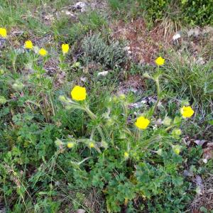 Photographie n°2408173 du taxon Ranunculus bulbosus L. [1753]