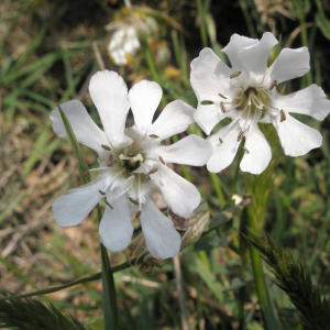 Photographie n°2408634 du taxon Silene vulgaris subsp. maritima (With.) Á.Löve & D.Löve [1961]