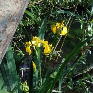 Photographie n°2408868 du taxon Iris pseudacorus L. [1753]
