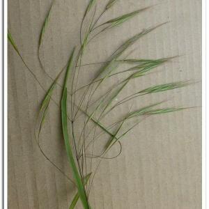 Photographie n°2409557 du taxon Anisantha sterilis (L.) Nevski [1934]