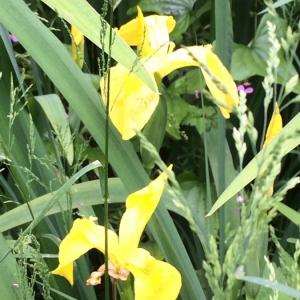Photographie n°2409752 du taxon Iris pseudacorus L. [1753]