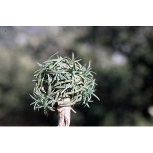 Armeria nebrodensis (Guss.) Boiss.