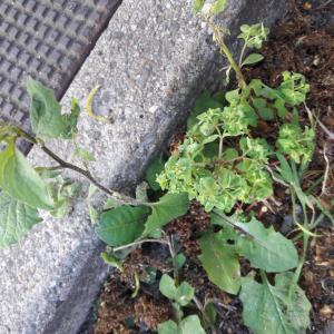 Photographie n°2410540 du taxon Euphorbia peplus L.