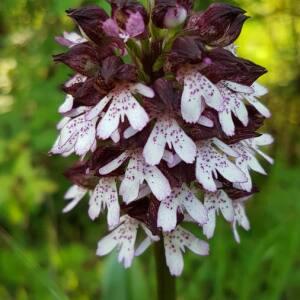 Photographie n°2410636 du taxon Orchidaceae