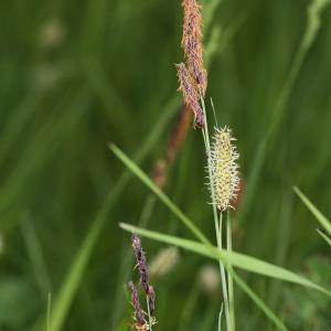 Photographie n°2411114 du taxon Carex flacca Schreb. [1771]
