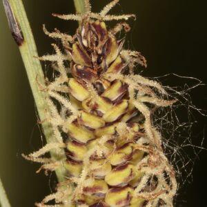 Photographie n°2411115 du taxon Carex flacca Schreb. [1771]