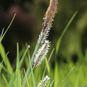 Photographie n°2411116 du taxon Carex flacca Schreb. [1771]