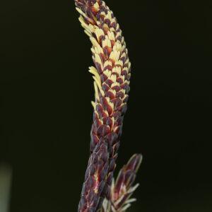 Photographie n°2411117 du taxon Carex flacca Schreb. [1771]