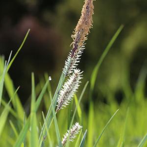 Photographie n°2411118 du taxon Carex flacca Schreb. [1771]