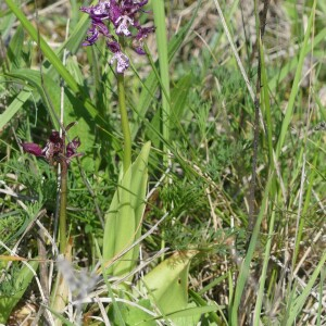 - Orchis x angusticruris Franch. ex Rouy [1912]