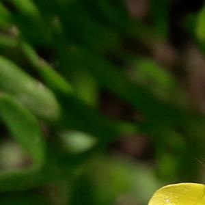 Photographie n°2411753 du taxon Ranunculus arvensis L. [1753]