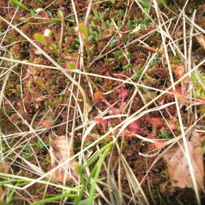 Photographie n°2411862 du taxon Drosera anglica Huds. [1778]